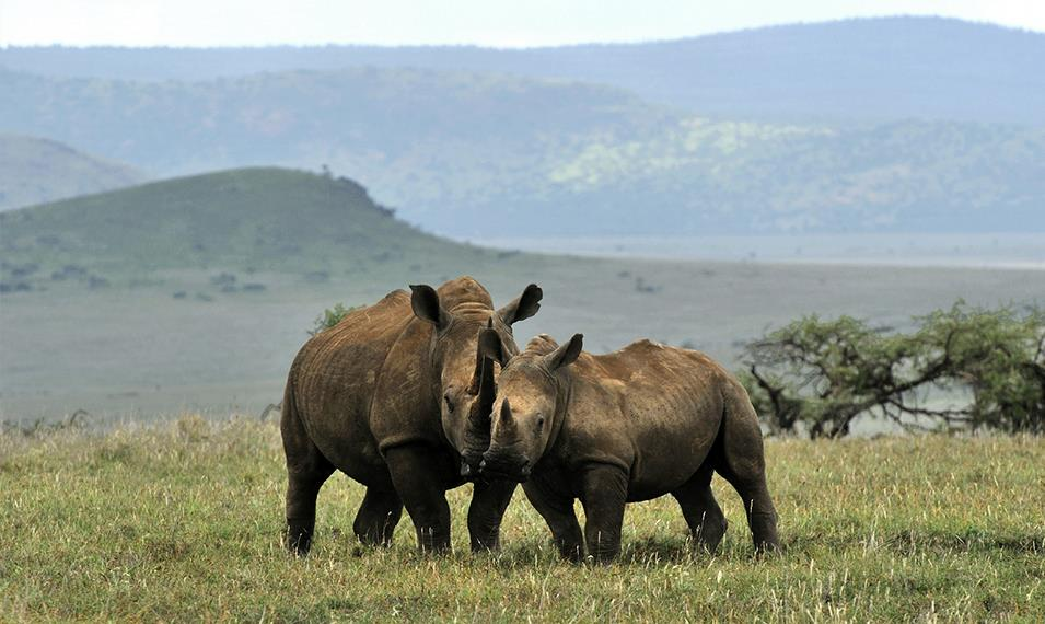 Search for endangered Black Rhinos in Lewa Conservancy.